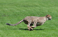 Cheetah with long tail